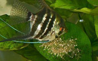 Пошаговая инструкция по размножению скалярий в общем аквариуме