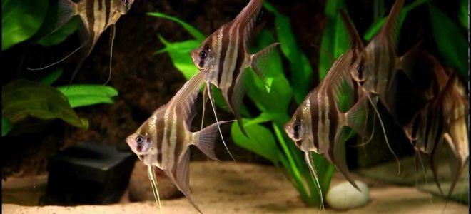 Рыбка скалярия: ангел в аквариуме?