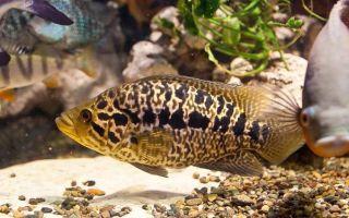Манагуанская цихлазома – рыбка-ягуар