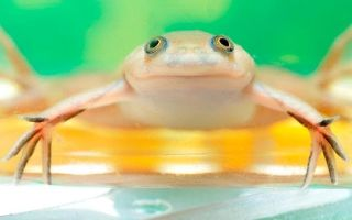 Земноводная шпорцевая лягушка в аквариуме