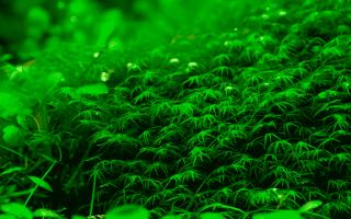 Простое растение для любого новичка – мох феникс