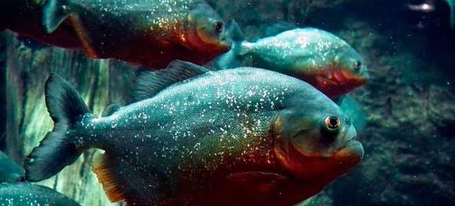 Можно содержать аквариумных пираний у себя дома?