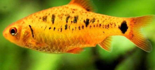 Рыбка барбус Шуберта — не встречается в природе