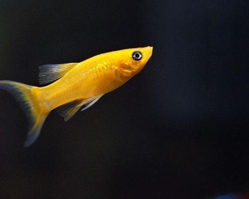 Рыбка от селекционеров – моллинезия желтая