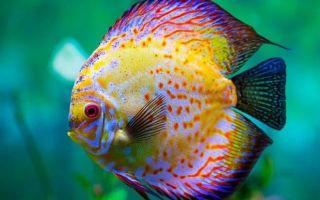 Дискусы — рыбка, похожая на диск