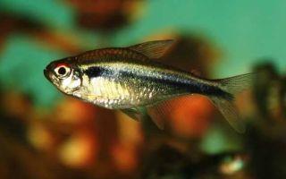 Черные неоны — красивая рыбка со спокойным темпераментом