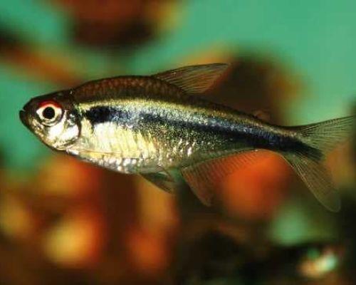 Черные неоны – красивая рыбка со спокойным темпераментом