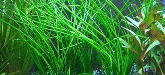 Валлиснерия спиральная и 6 самых популярных видов аквариумного растения