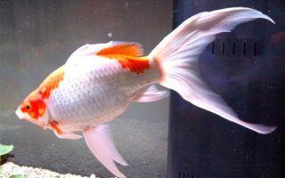 Содержание аквариумной золотой рыбки комета