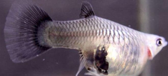 Хитрости по выявлению беременной гуппи и уходу за рыбкой