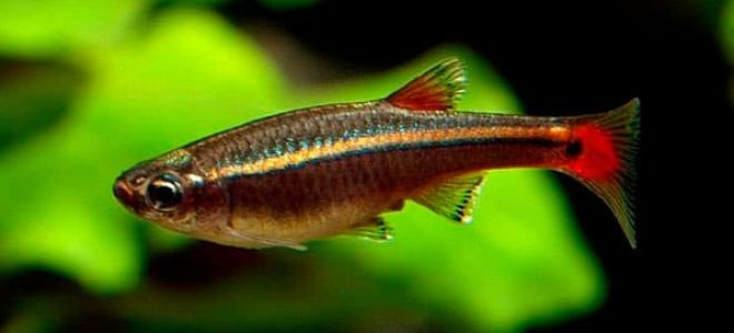 Небольшая аквариумная рыбка кардинал