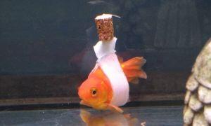 Самые популярные заболевания аквариумных рыбок