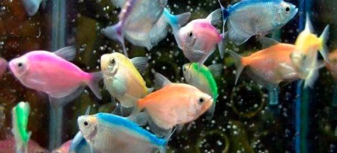 Неприхотливая аквариумная рыбка тернеция карамелька