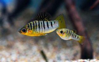 14 популярных живородящих аквариумных рыбок