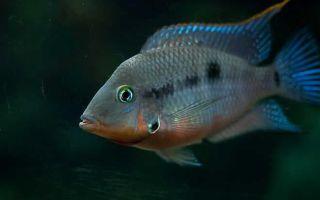 Рыбка с самым красивым горлом — цихлазома меека