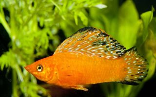 О несложном содержании рыбки моллинезии для новичков и не только