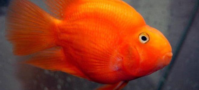 Вся правда о рыбке попугае