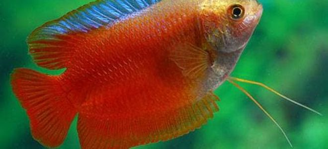 Почему рыбки лялиусы могут быть в аквариуме любого новичка