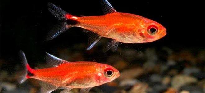 16 видов небольшой аквариумной рыбки тетры