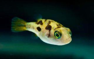 Тетрадон карликовый — рыбка, которая раздувается при опасности