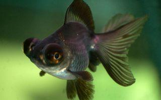 Рыбка с большими выпученными глазами — это про телескопов