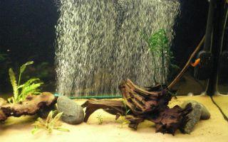 Существуют аквариумные рыбки, которые могут обойтись без кислорода?