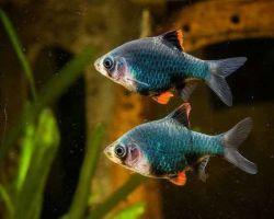 Барбус мутант – рыбка со своеобразным характером