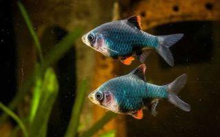 Барбус мутант — рыбка со своеобразным характером