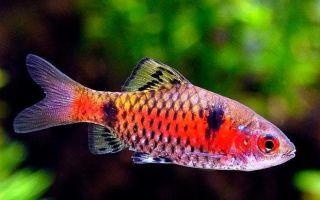 Неприхотливая и красивая рыбка алый барбус