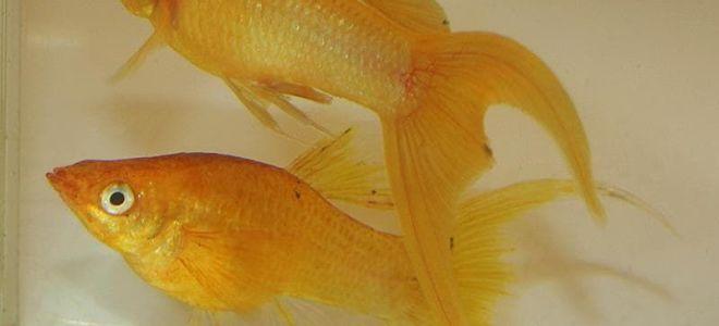 Рыбка от селекционеров