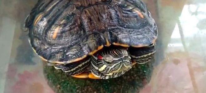 11 причин почему красноухая черепаха перестает есть
