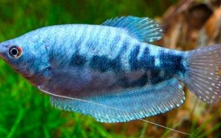 Все о содержании мраморного гурами в аквариуме
