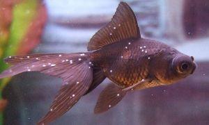 Лечение белых точек (манки) на рыбках: 4 эффективных способа!