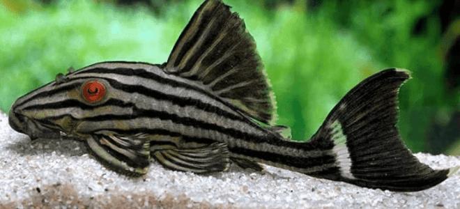 Все известные чистильщики аквариума