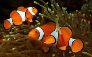 Клоун — оранжевая рыба с белыми полосками