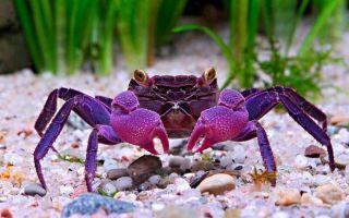 9 видов аквариумных крабов