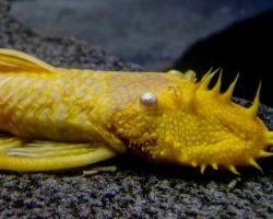 Анциструс золотой – активный сомик в сумерки и по ночам