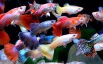 Гуппи и 19 совместимых с ними рыбок