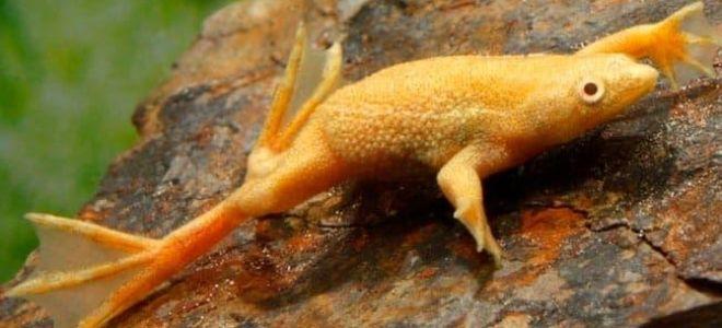Хитрости в содержании аквариумных лягушек