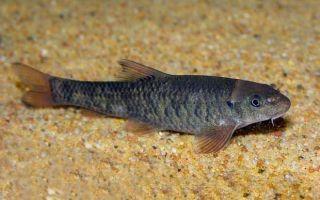 Рыбка-доктор гарра руфа