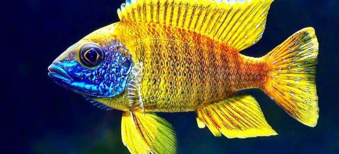 Рыбки из озера Малави (цихлиды малавийские) узнают своих хозяев?
