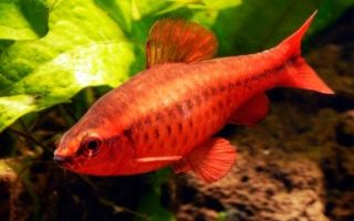 Стайная рыбка вишневый барбус