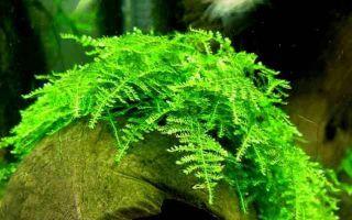 Рождественский мох (кристмас) — елочка в аквариуме