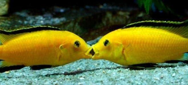 Лабидохромис еллоу – желтая цихлида в аквариуме