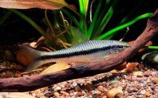 Как чистить аквариум с помощью рыбки сиамский водорослеед?