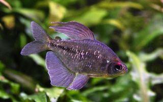 Удивительная рыбка тетра: уход и содержания в аквариуме
