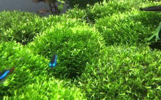 Риччия плавающая – маленькие островки в аквариуме!