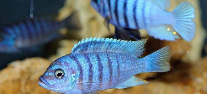 Совместимость всех цихлид с другими рыбками в аквариуме
