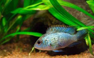 Бирюзовая акара: содержание в аквариуме