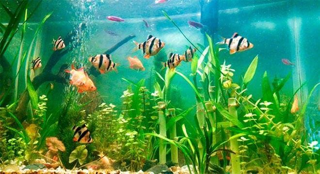 Барбусы в аквариуме